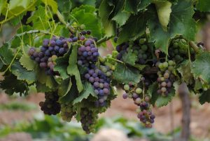 Photo of a grapevine with purple grapes hanging from it
